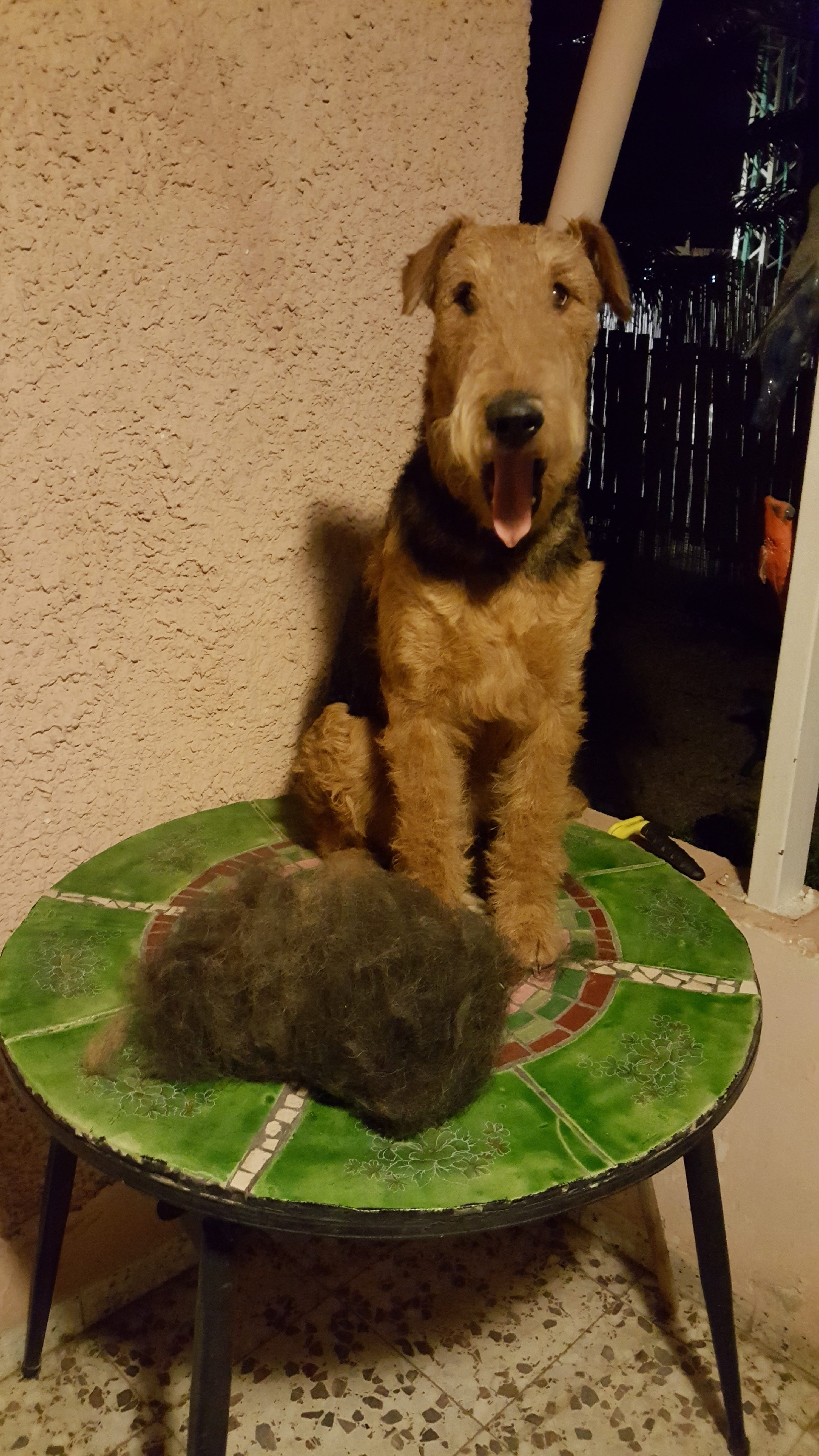 Airedale Grooming