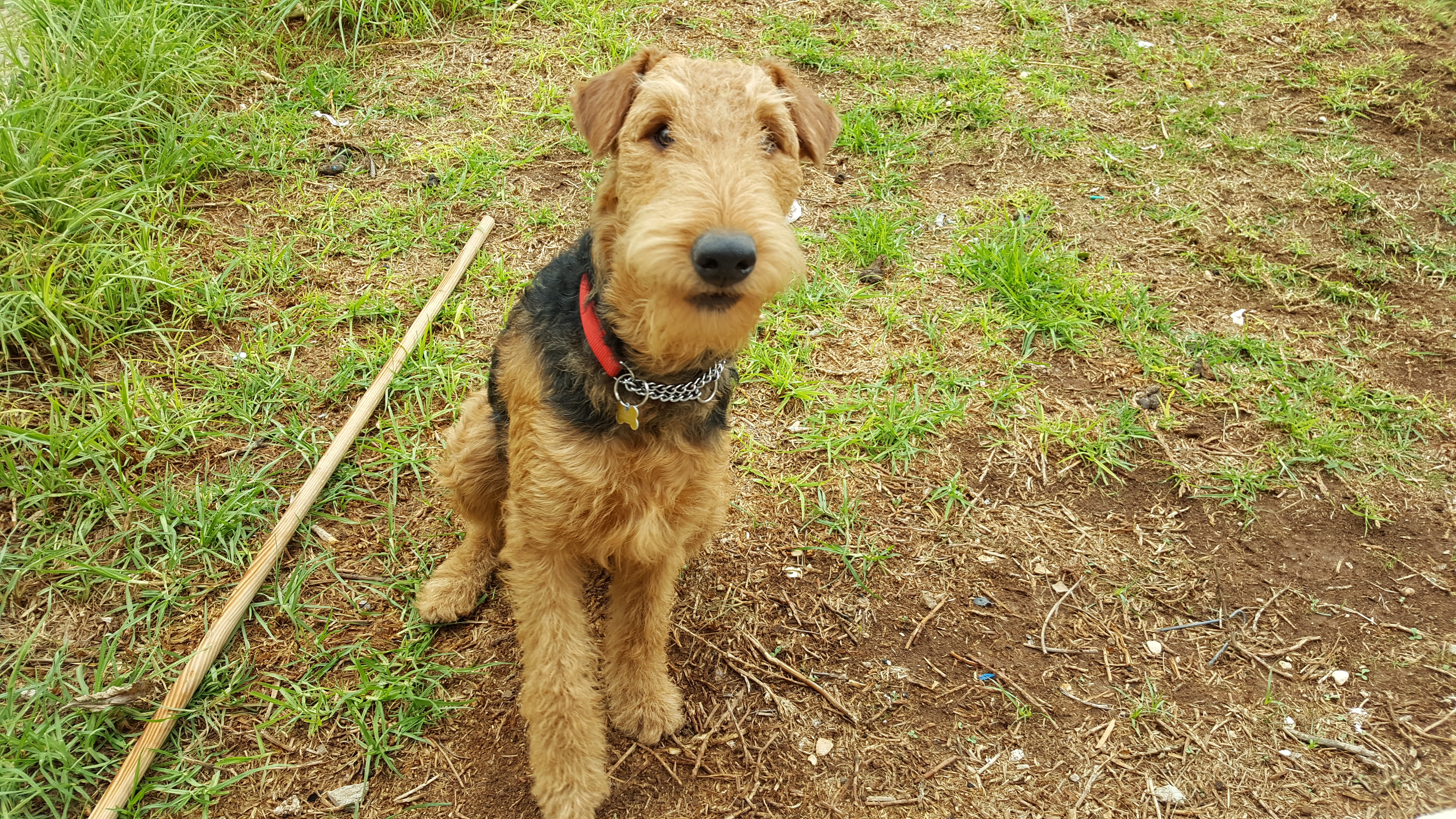 Venus the Airedale
